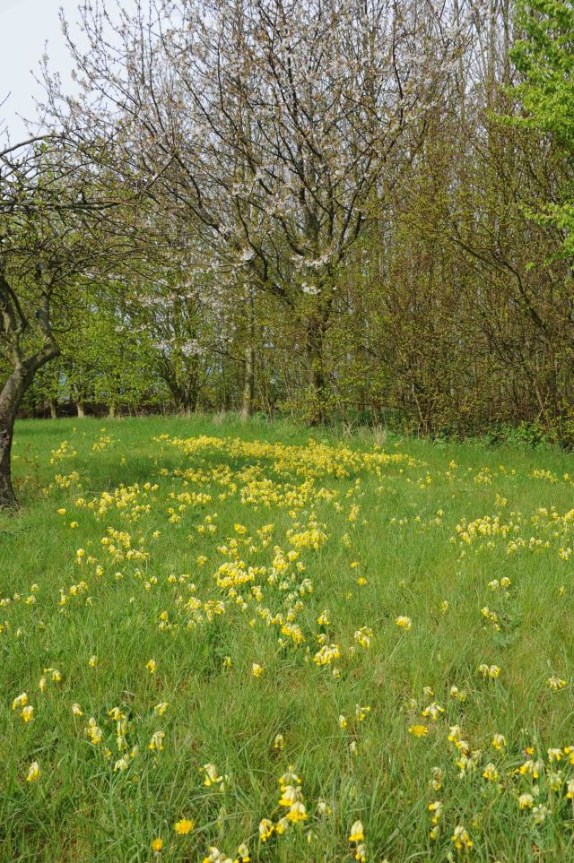 cowslips in orchard