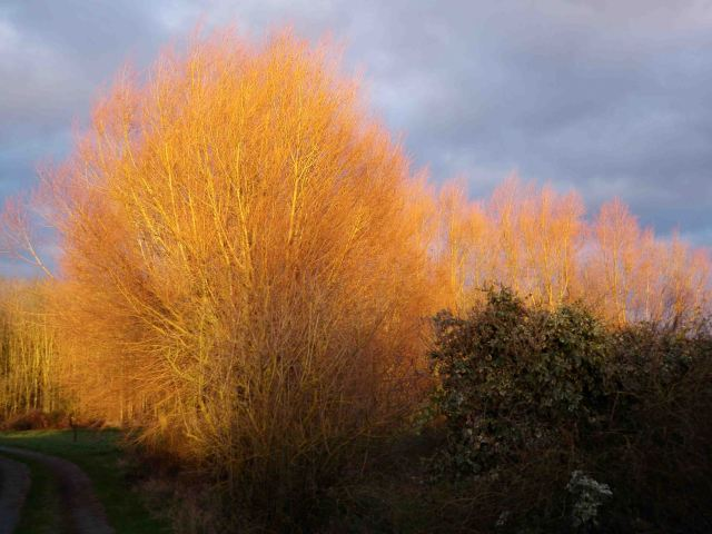 Glowing willows