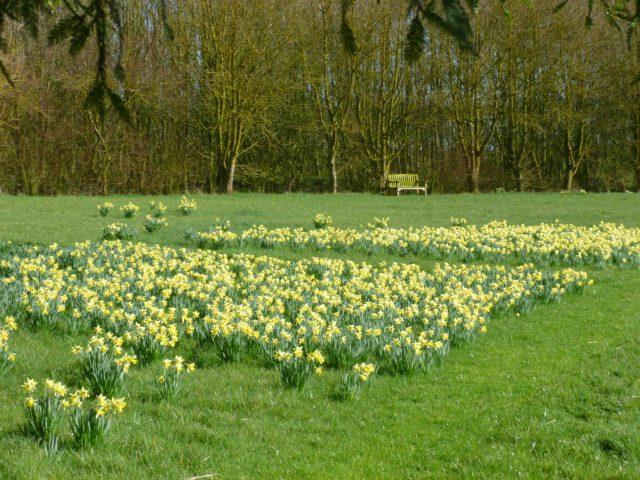 7 daffs in meadow